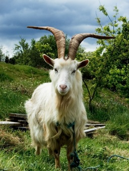 Irish_Goat